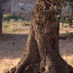 Olivi Agriturismo Toscana