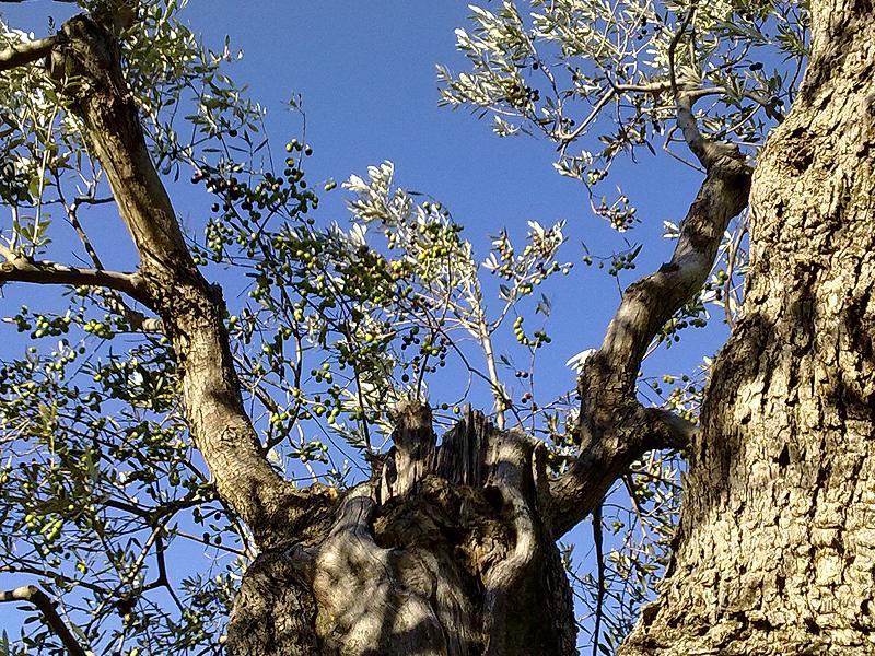Olivi dell'Azienda Agricola