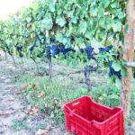 Vendemmia agriturismo Toscana